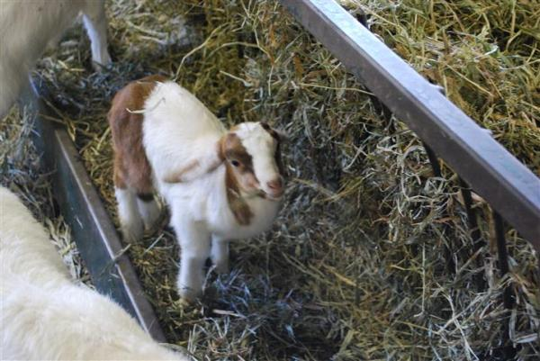 Baby Goat at the Museum of Agriculture