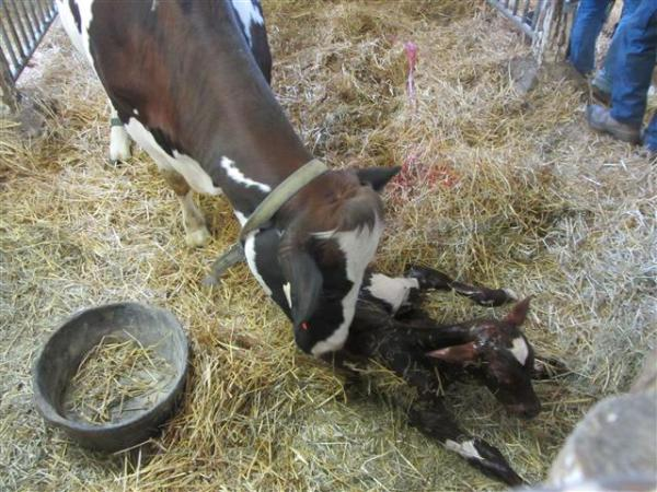 New calf born at the Agriculture Museum