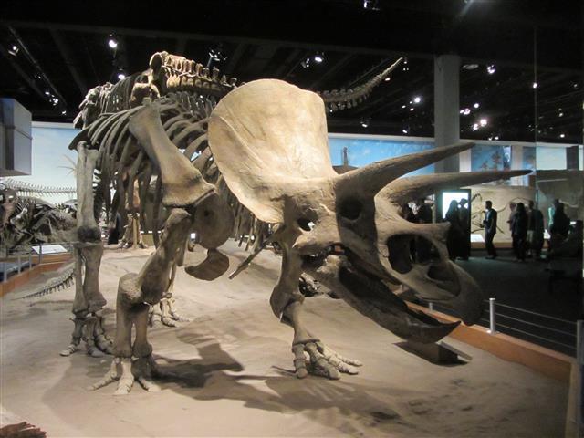 230_TriceratopsAncesctor