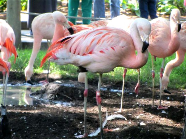 50_Flamingo