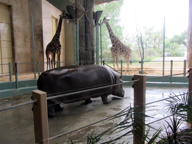 67_Hippo