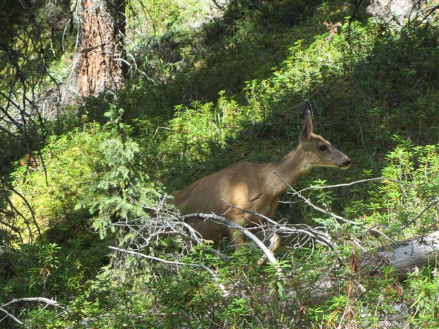 851_Deer